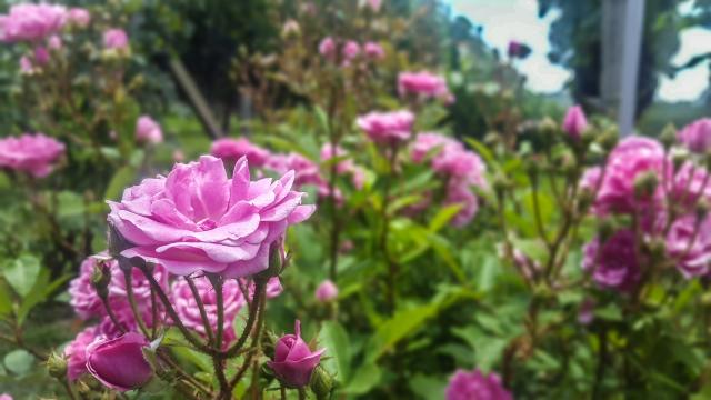 Rosas evitam que alguma praga danifique as uvas
